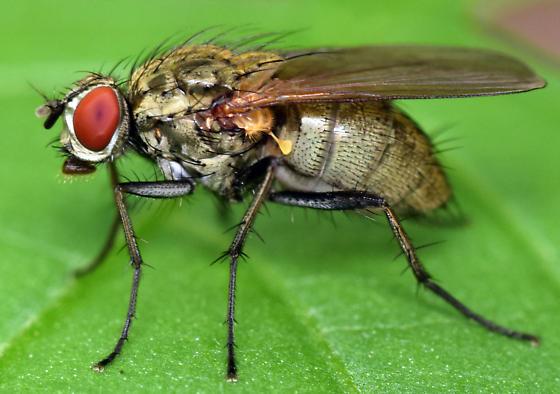 root maggot fly - Hydrophoria lancifer - female