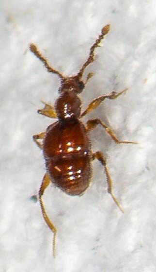 Beetle ID request - Arthmius