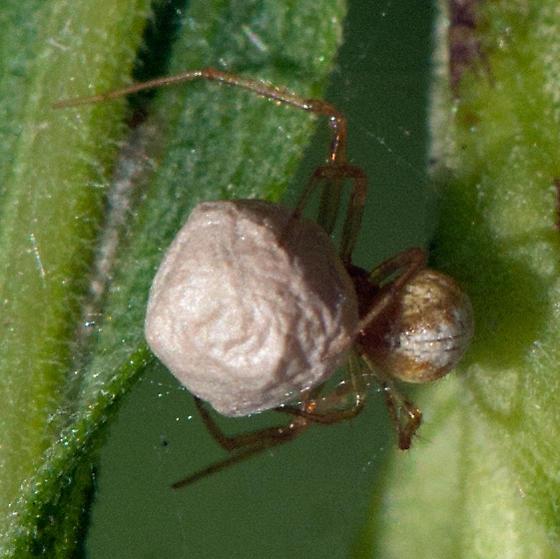 ID for an Alabama spider? - female