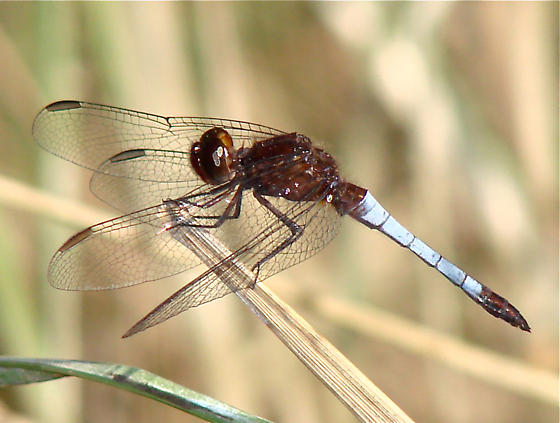 Red-faced Dragonlet, Erythrodiplax fusca - Erythrodiplax fusca