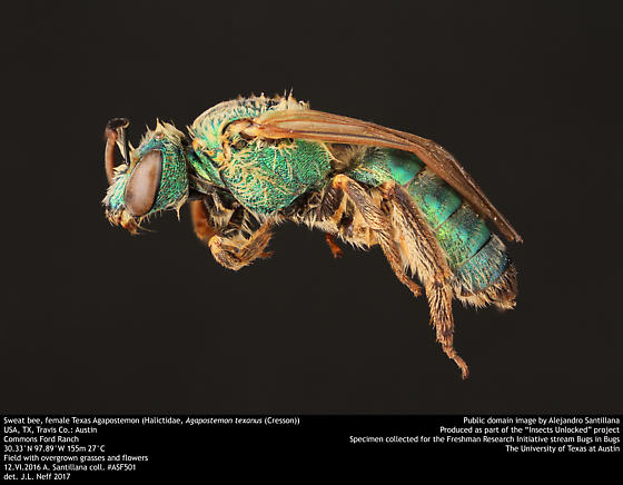 Sweat bee, female Texas Agapostemon (Halictidae, Agapostemon texanus (Cresson)) - Agapostemon - female