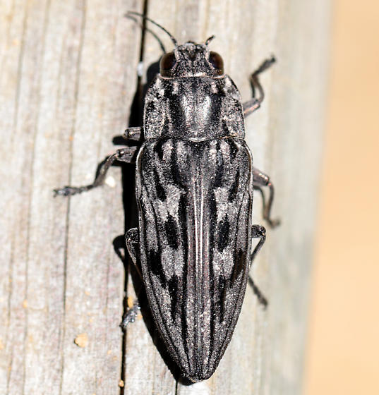 Sculptured Pine Borer (Chalcophora virginiensis)? - Chalcophora virginiensis