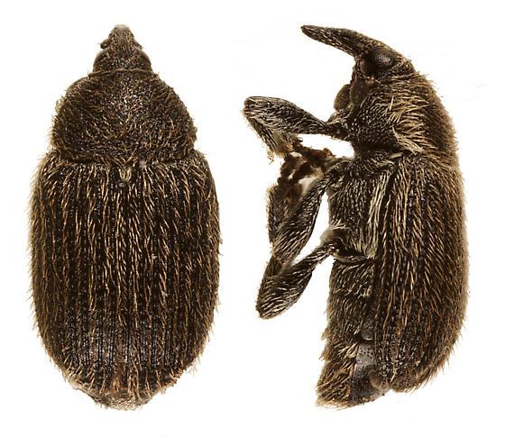 unknown weevil - Rhinusa antirrhini