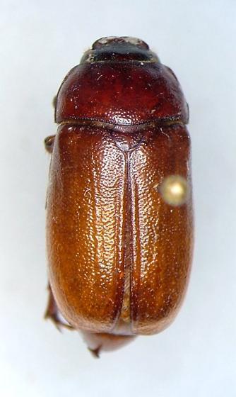 Phyllophaga ephilida - female