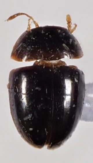 Unknown Beetle perhaps Phalacridae