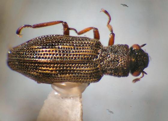 Aquatic beetle - Hydrochus