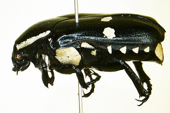 Gymnetina cretacea  - Gymnetina cretacea
