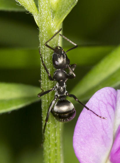 Formica subsericea? - Formica subsericea