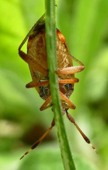 Plant Bug - Pycnocoris ursinus