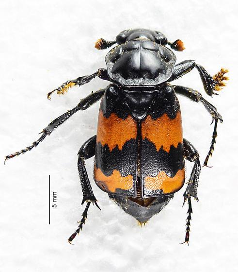 Nicrophorus of sorts.. - Nicrophorus hybridus