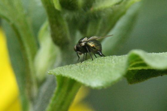 Melanagromyza or Liriomyza nigriscutellata (my vote is for Liriomyza...) - Melanagromyza