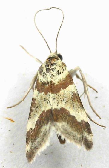 Lepidoptera--? - Mimoschinia rufofascialis