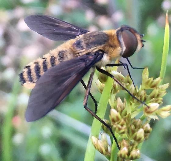 Bombyliidae or Syrphidae??  - Poecilanthrax lucifer