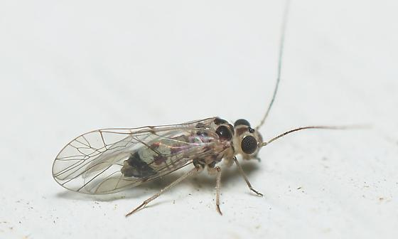 Blastopsocus sp.? - Blastopsocus variabilis - male