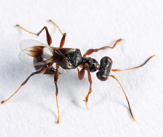 odd wasp - Dryinus crawfordi
