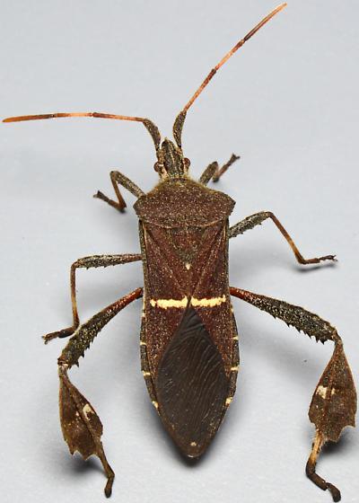 Leptoglossus phyllopus