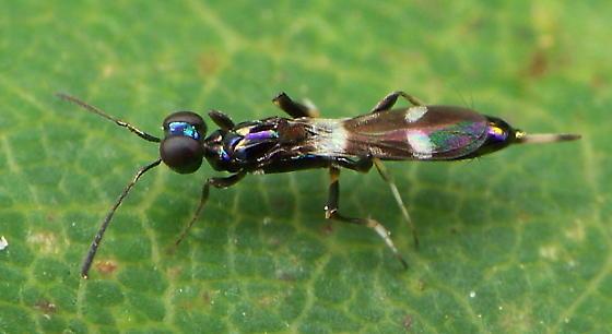 Chalcid Wasp - Zaischnopsis coenotea - female