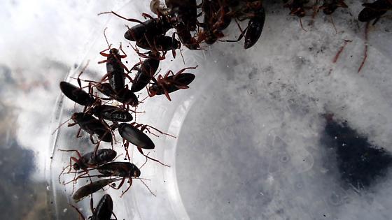 small cold beetles - Lobopoda