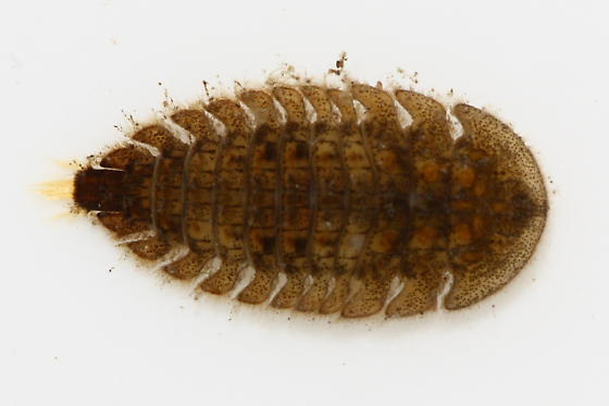 Water Penny Beetle - Ectopria