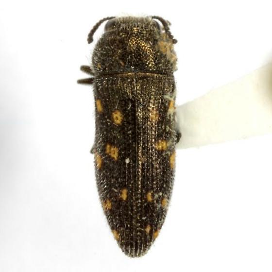 Acmaeodera tubulus (Fabricius) - Acmaeodera tubulus