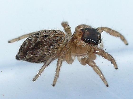 spider - Evarcha hoyi