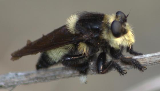 Bee on steroids? - Mallophora orcina