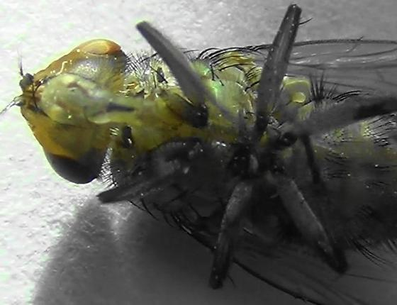 Sexing Flies in the Genus Lucilia (ventral hairs) - Lucilia - male