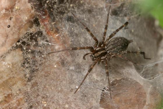 Grass Spider - Agelenopsis