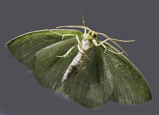 Emerald moth - Nemoria mimosaria - male