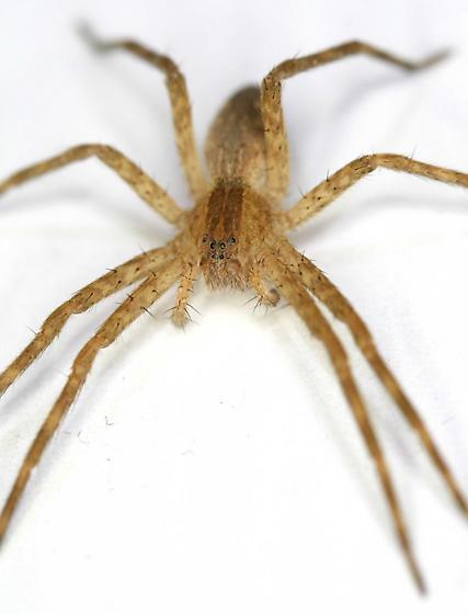 Bedstand spider - Pisaurina mira - female