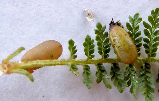 Syrphid? Pupa - Eupeodes volucris