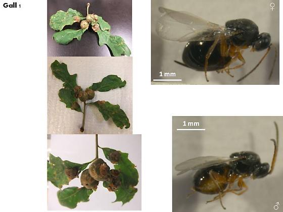 Oak galls from Ontario - Andricus quercuspetiolicola - female