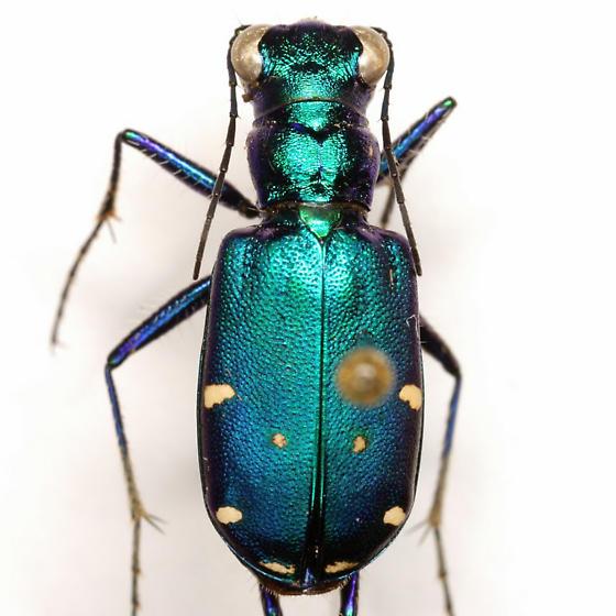 Cicindela sexguttata Fabricius - Cicindela sexguttata