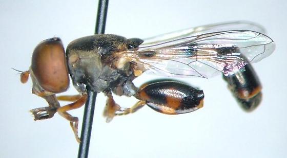 Syritta pipiens - male