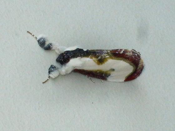 Mystery moth - Eudryas grata