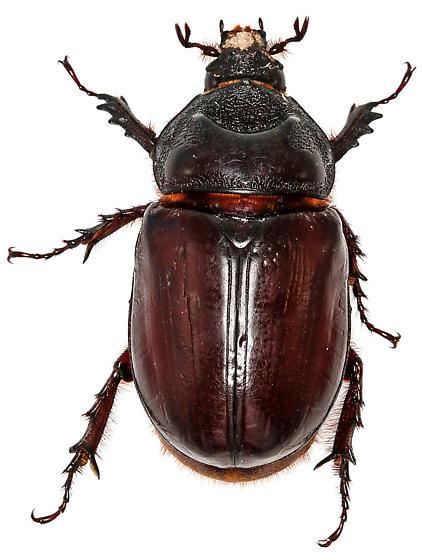Female, Strategus aloeus (L.)? - Strategus aloeus - female