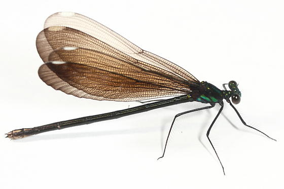 Damselfly - Calopteryx maculata
