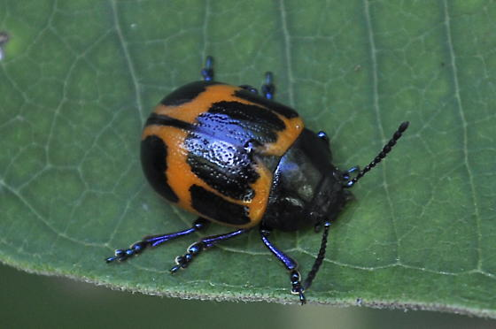 unknown black-red beetle - Labidomera clivicollis