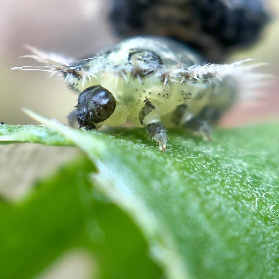 Creepy spiny caterpillar