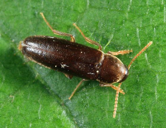 Anisoxya sp.? - Phloiotrya fusca - male