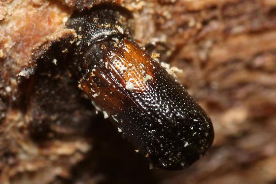 Xylobiops basilaris