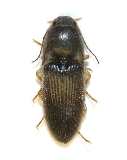 Black light - Conoderus falli