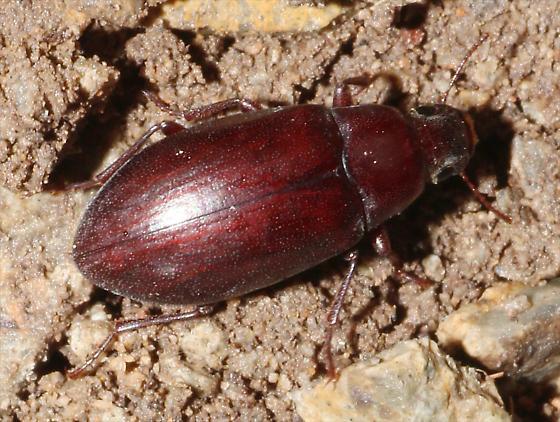 Reddish Beetle - Metopoloba