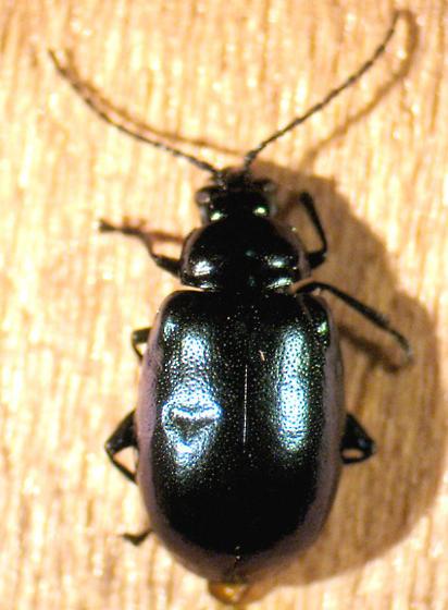 chrysomelid 1 - Altica chalybea