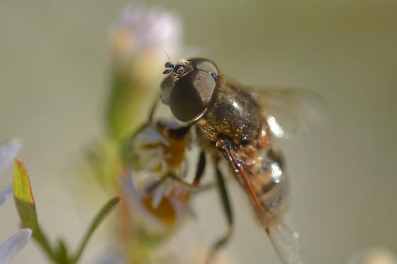 bee fly - Eristalis dimidiata