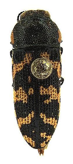 Acmaeodera obtusa Horn - Acmaeodera obtusa - male
