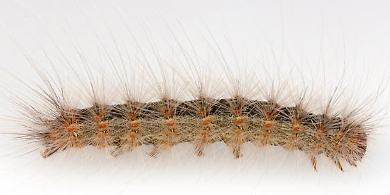 Larva, Hyphantria cunea? - Hyphantria cunea