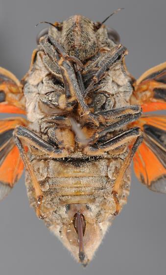 Cicada, female ventral - Okanagana hesperia - female