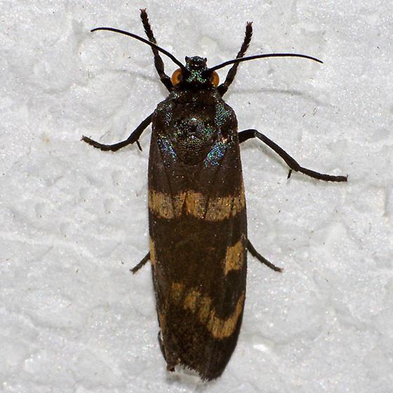 moth - Cydosia aurivitta - male