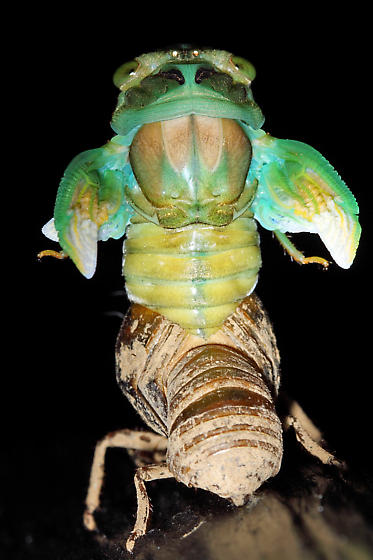 A Cicada in the process of molting - Neotibicen tibicen